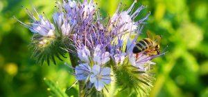 Bienenschwarm - ungefährlich aber sehenswert