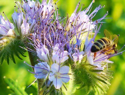 Honigbienen bereiten sich auf den Sommer vor