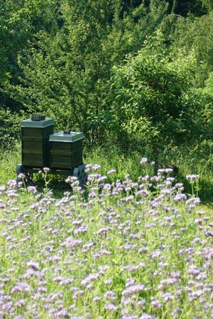 Honig aus dem Naturpark Augsburg - feinster Stauden - Honig der Imkerei Weiss