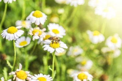Honig - Biene in den Stauden