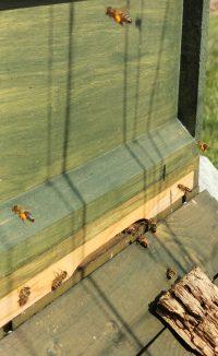 Honig-Bienen der Imkerei Weiss tragen Pollen ein