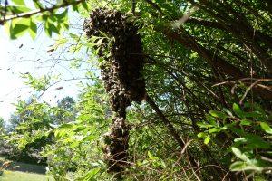 Bienenschwarm in Klosterlechfeld - dieser hat sich im Garten niedergelassen und wird vom erfahrenen Imker entfernt
