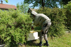 Imker entfernt Bienenschwarm in Klosterlechfeld an einem Busch im Garten