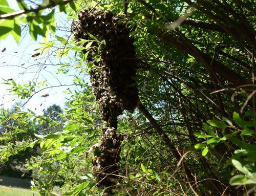 Der Bienenschwarm