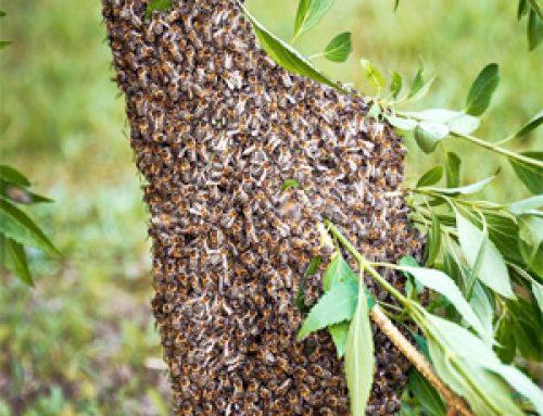 Bienenschwarm in Schwabegg melden und einfangen lassen