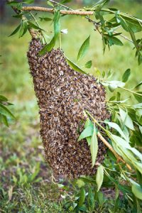 Bienenschwarm in Großaitingen dem Imker Weiss melden und entfernen lassen